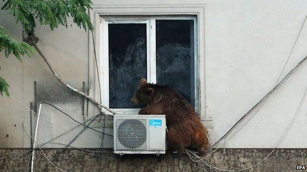 A bear on the loose in Tbilisi